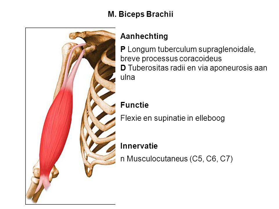 Aanhechting P Longum tuberculum supraglenoidale, breve processus coracoideus D Tuberositas radii en via aponeurosis aan ulna Functie Flexie en supinat
