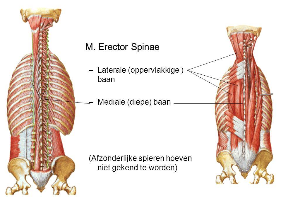 M. Erector Spinae –Laterale (oppervlakkige ) baan –Mediale (diepe) baan (Afzonderlijke spieren hoeven niet gekend te worden)