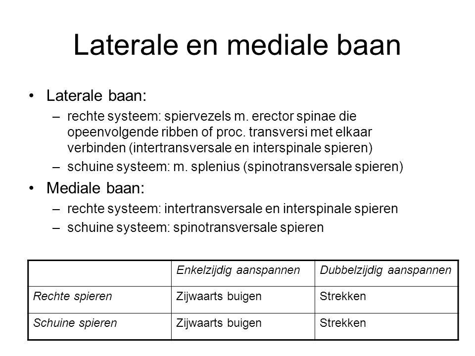 Laterale en mediale baan Laterale baan: –rechte systeem: spiervezels m. erector spinae die opeenvolgende ribben of proc. transversi met elkaar verbind
