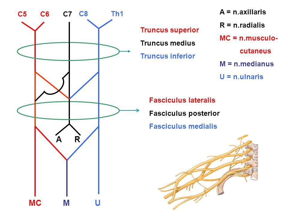 C5C6C7 C8Th1 Truncus superior Truncus medius Truncus inferior Fasciculus lateralis Fasciculus posterior Fasciculus medialis M AR UMC A = n.axillaris R