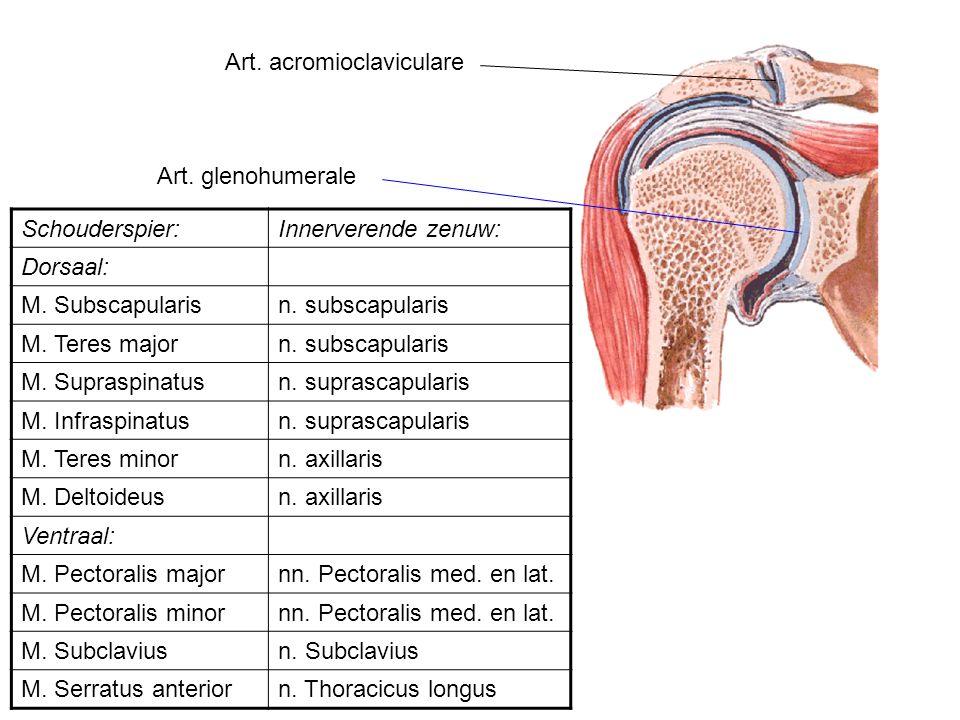 Art. acromioclaviculare Art. glenohumerale Schouderspier:Innerverende zenuw: Dorsaal: M. Subscapularisn. subscapularis M. Teres majorn. subscapularis