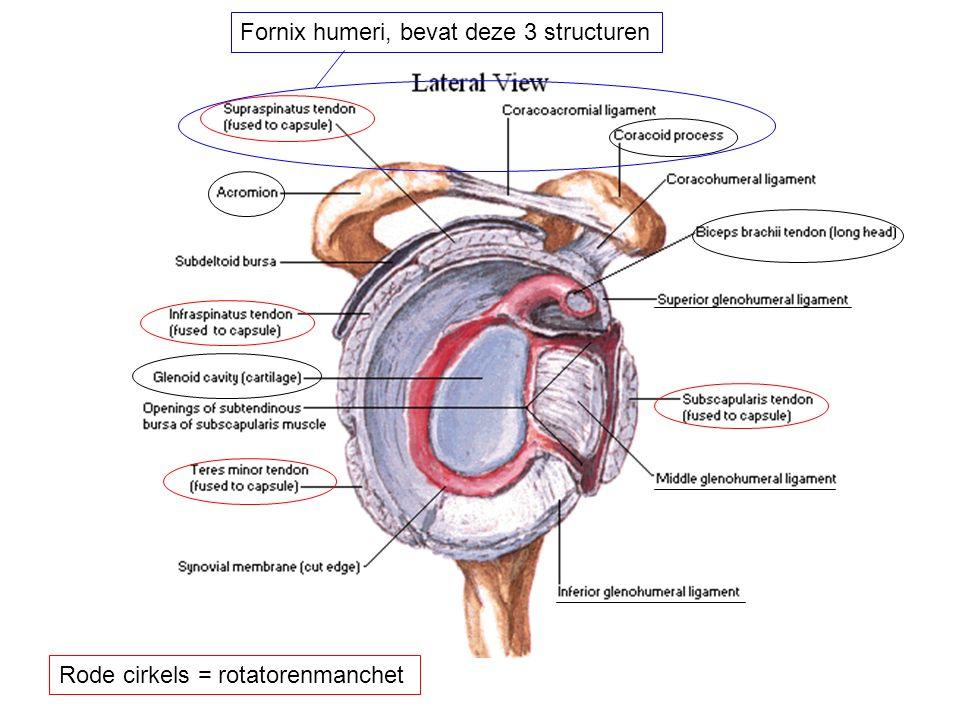 Rode cirkels = rotatorenmanchet Fornix humeri, bevat deze 3 structuren