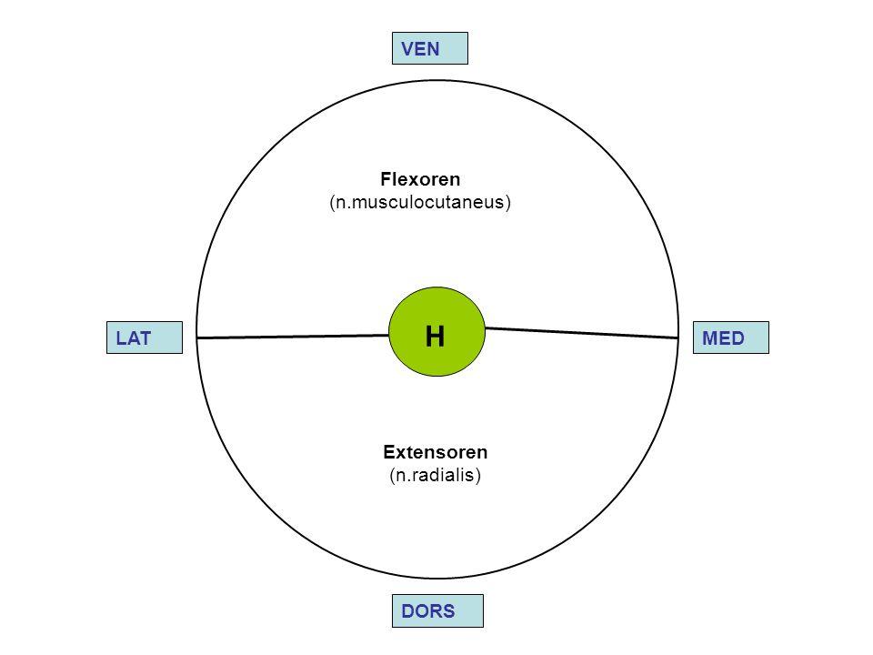 LAT DORS VEN MED Flexoren (n.musculocutaneus) Extensoren (n.radialis) H