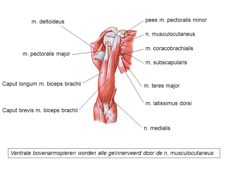 m. coracobrachialis m. subscapularis m. teres major m. latissimus dorsi pees m. pectoralis minor Caput longum m. biceps brachii Caput brevis m. biceps