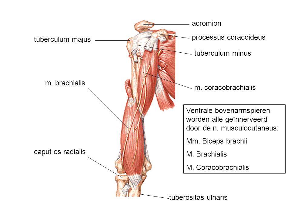 m. brachialis m. coracobrachialis caput os radialis tuberositas ulnaris tuberculum majus tuberculum minus acromion processus coracoideus Ventrale bove