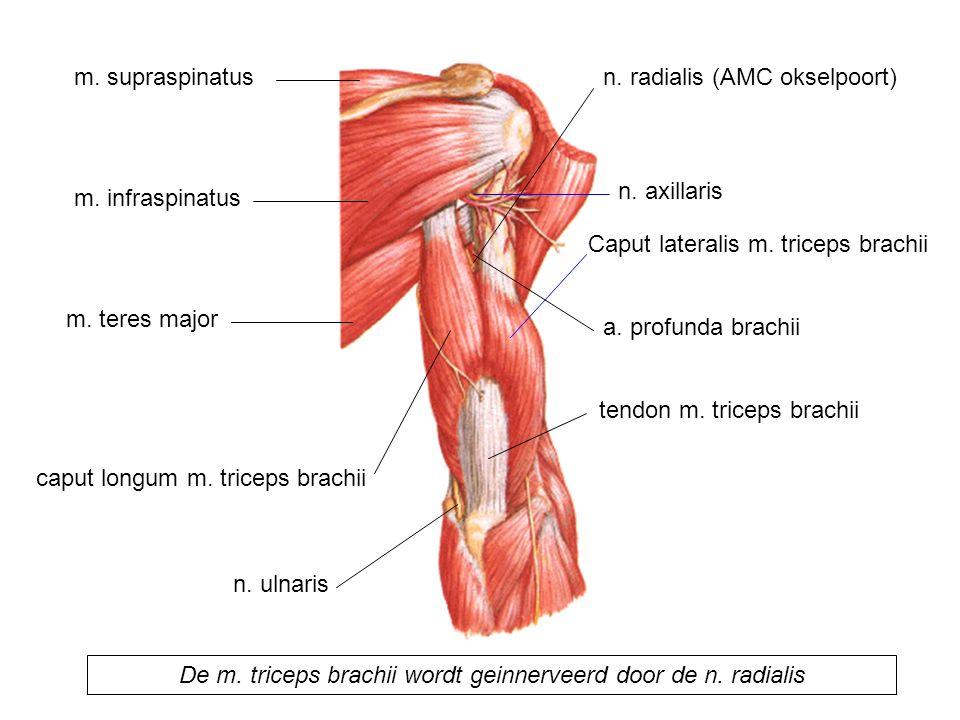 Caput lateralis m. triceps brachii caput longum m. triceps brachii tendon m. triceps brachii m. teres major m. infraspinatus m. supraspinatus n. ulnar