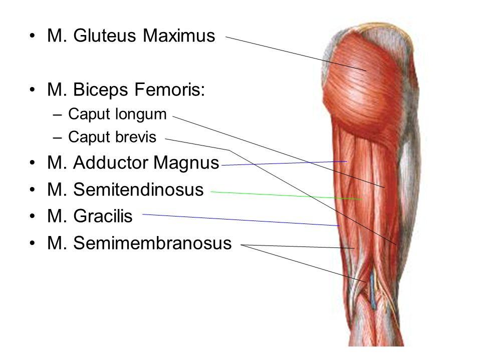M. Gluteus Maximus M. Biceps Femoris: –Caput longum –Caput brevis M. Adductor Magnus M. Semitendinosus M. Gracilis M. Semimembranosus