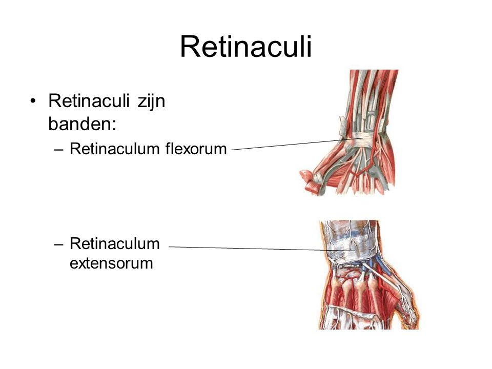 Retinaculi Retinaculi zijn banden: –Retinaculum flexorum –Retinaculum extensorum