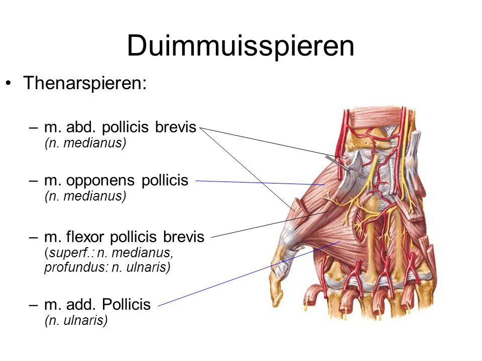 Duimmuisspieren Thenarspieren: –m. abd. pollicis brevis (n. medianus) –m. opponens pollicis (n. medianus) –m. flexor pollicis brevis (superf.: n. medi