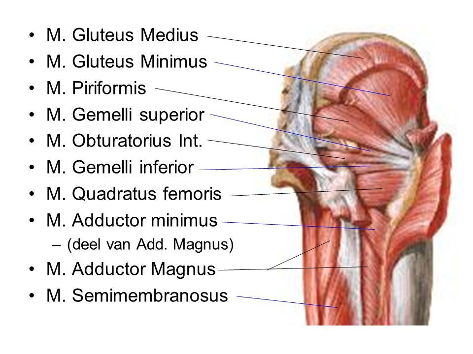 M. Gluteus Medius M. Gluteus Minimus M. Piriformis M. Gemelli superior M. Obturatorius Int. M. Gemelli inferior M. Quadratus femoris M. Adductor minim