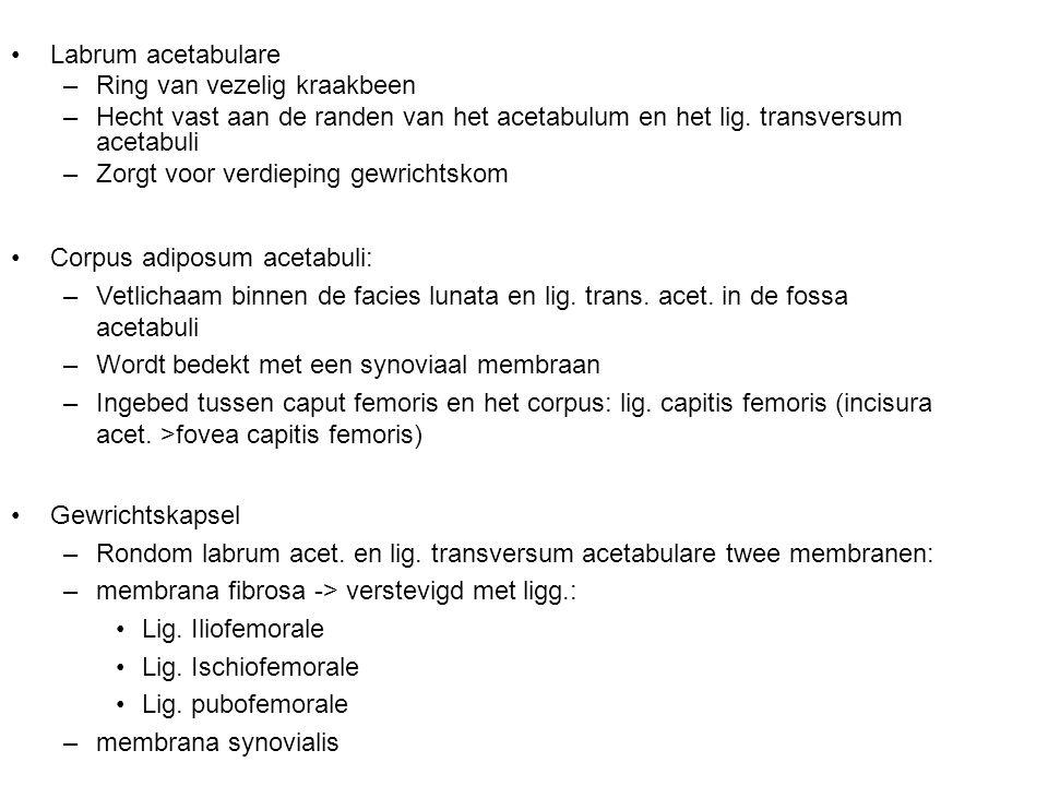 Labrum acetabulare –Ring van vezelig kraakbeen –Hecht vast aan de randen van het acetabulum en het lig. transversum acetabuli –Zorgt voor verdieping g