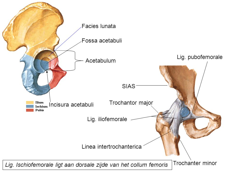 Facies lunata Fossa acetabuli Acetabulum SIAS Lig. Ischiofemorale ligt aan dorsale zijde van het collum femoris Lig. pubofemorale Lig. iliofemorale Tr