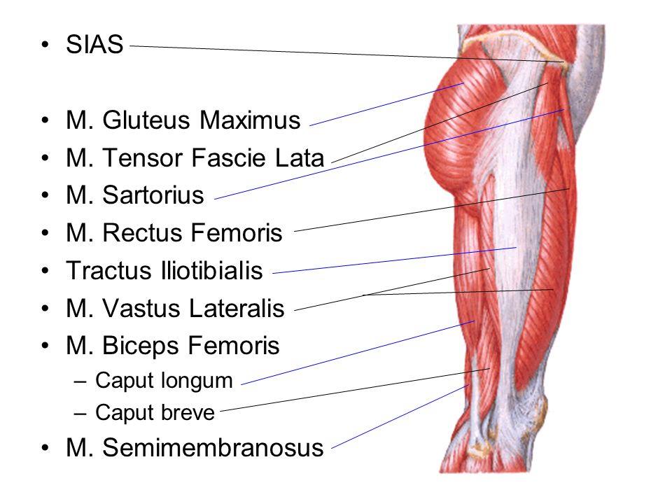 SIAS M. Gluteus Maximus M. Tensor Fascie Lata M. Sartorius M. Rectus Femoris Tractus Iliotibialis M. Vastus Lateralis M. Biceps Femoris –Caput longum