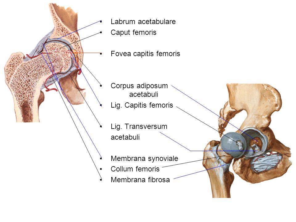 Labrum acetabulare Caput femoris Fovea capitis femoris Corpus adiposum acetabuli Lig. Capitis femoris Lig. Transversum acetabuli Membrana synoviale Co