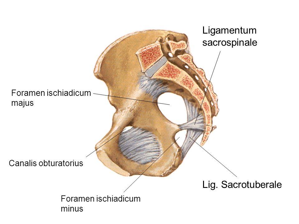 Ligamentum sacrospinale Foramen ischiadicum majus Foramen ischiadicum minus Lig. Sacrotuberale Canalis obturatorius