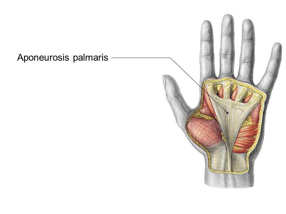 Aponeurosis palmaris