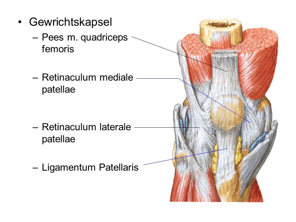 Gewrichtskapsel –Pees m. quadriceps femoris –Retinaculum mediale patellae –Retinaculum laterale patellae –Ligamentum Patellaris