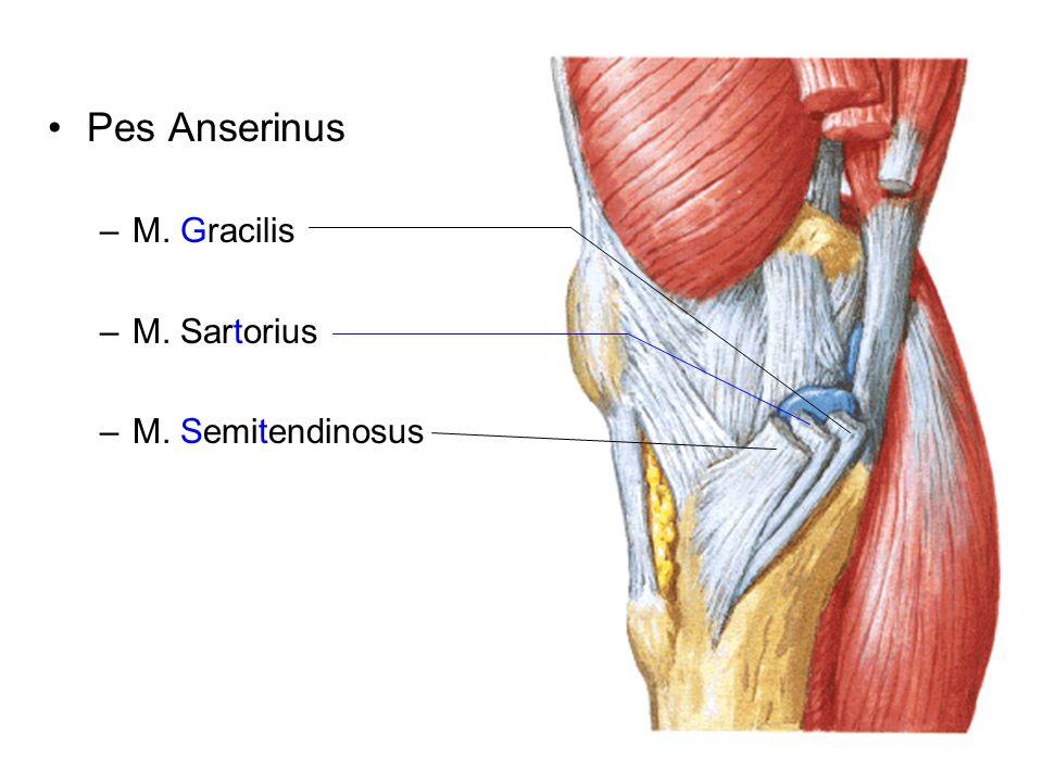 Pes Anserinus –M. Gracilis –M. Sartorius –M. Semitendinosus
