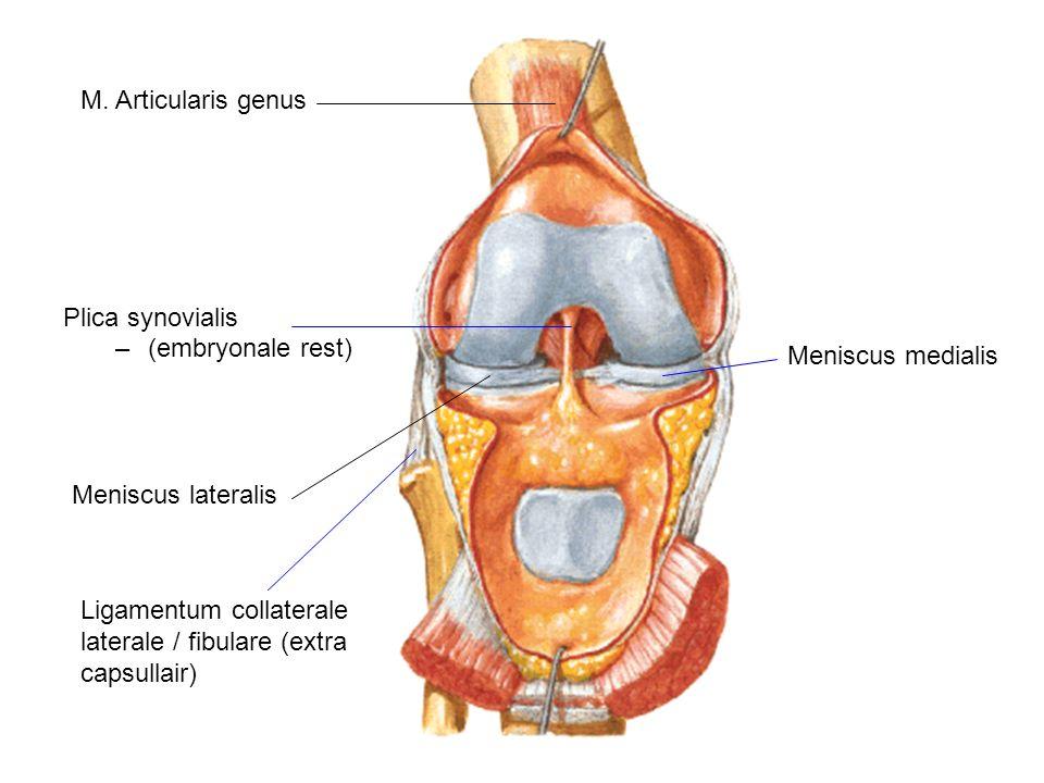 Plica synovialis –(embryonale rest) Meniscus lateralis Meniscus medialis M. Articularis genus Ligamentum collaterale laterale / fibulare (extra capsul