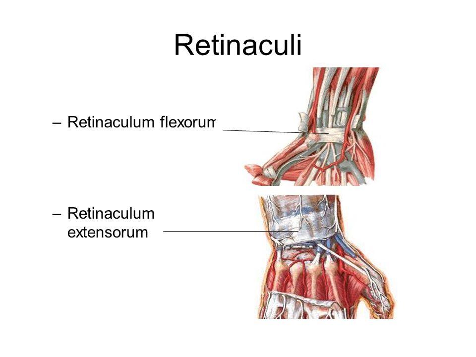 Retinaculi –Retinaculum flexorum –Retinaculum extensorum