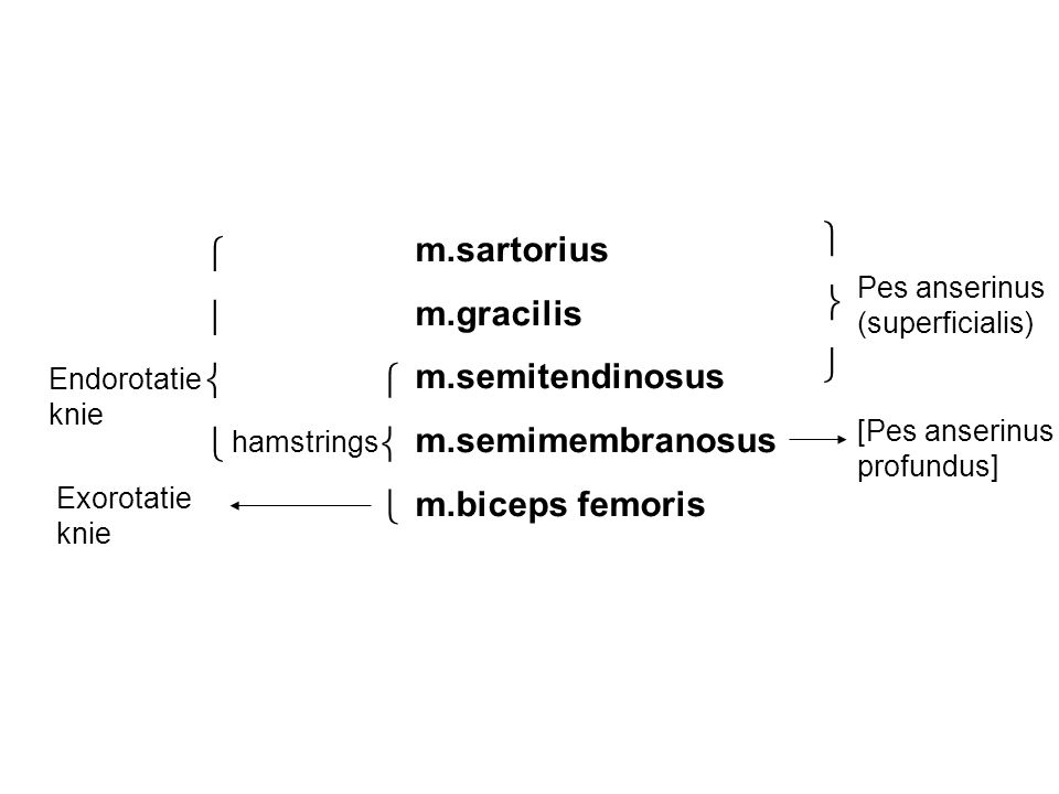 m.sartorius m.gracilis m.semitendinosus m.semimembranosus m.biceps femoris    hamstrings Pes anserinus (superficialis) [Pes anserinus profundu