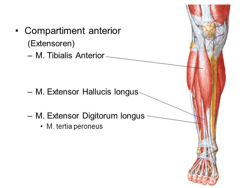 Compartiment anterior (Extensoren) –M. Tibialis Anterior –M. Extensor Hallucis longus –M. Extensor Digitorum longus M. tertia peroneus