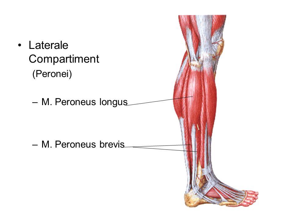 Laterale Compartiment (Peronei) –M. Peroneus longus –M. Peroneus brevis