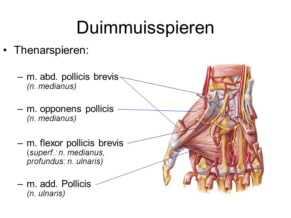 Korte duimspieren m.abductor pollicis brevis n.medianus Scaphoideum, retinaculum flexorum – radiale sesambeen, proximale falanx dig 1 - abductie duim m.flexor pollicis brevis n.medianus, n.ulnaris Retinaculum flexorum, trapezium, trapezoideum, capitatum – radiale sesambeen - flexie duim - adductie duim - oppositie duim m.opponens pollicis n.medianus Trapezium, retinaculum flexorum – metacarpale 1 - oppositie duim - adductie duim m.adductor pollicis n.ulnaris Metacarpale 3, carpi – ulnaire sesambeen - adductie duim - oppositie duim - flexie duim