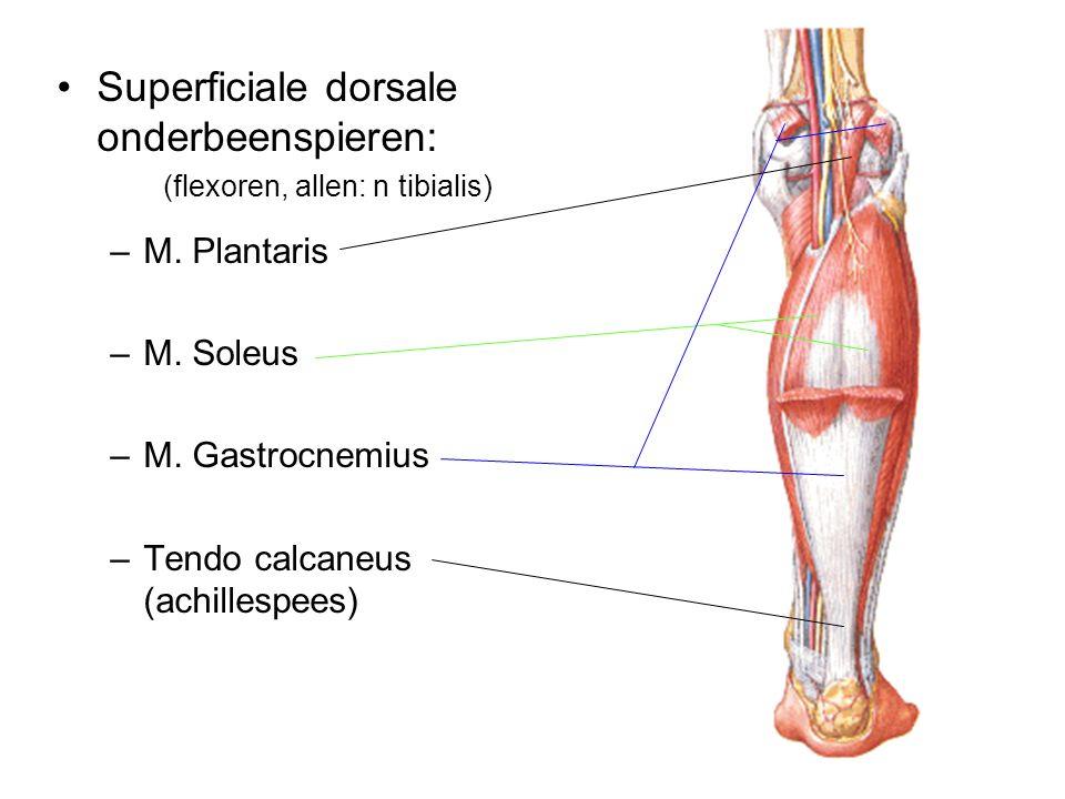 Superficiale dorsale onderbeenspieren: (flexoren, allen: n tibialis) –M. Plantaris –M. Soleus –M. Gastrocnemius –Tendo calcaneus (achillespees)
