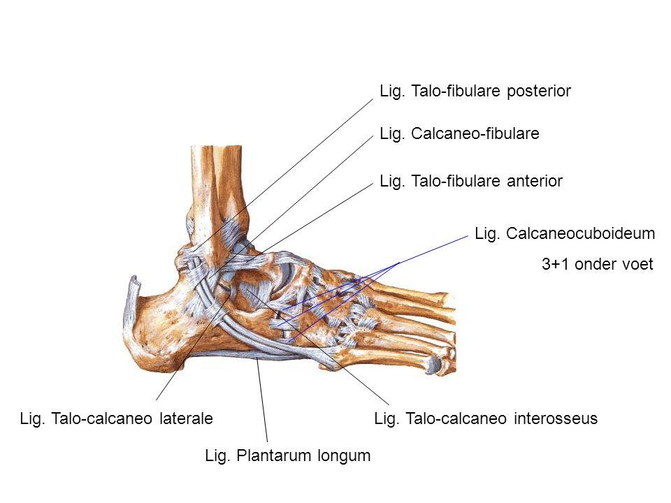 Lig. Talo-fibulare posterior Lig. Calcaneo-fibulare Lig. Talo-fibulare anterior Lig. Talo-calcaneo lateraleLig. Talo-calcaneo interosseus Lig. Calcane