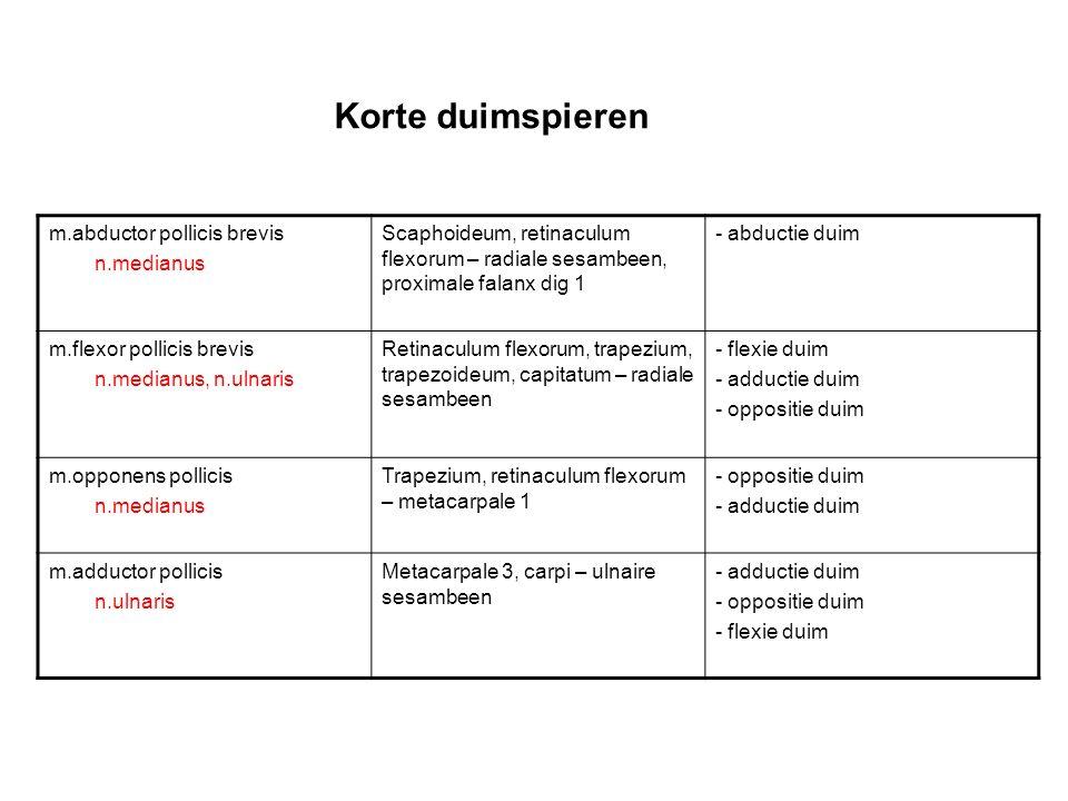 Laterale en mediale baan Laterale baan: –rechte systeem: spiervezels m.