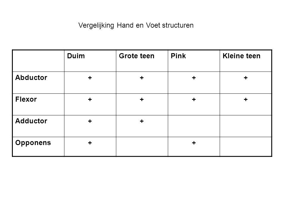 DuimGrote teenPinkKleine teen Abductor++++ Flexor++++ Adductor++ Opponens++ Vergelijking Hand en Voet structuren