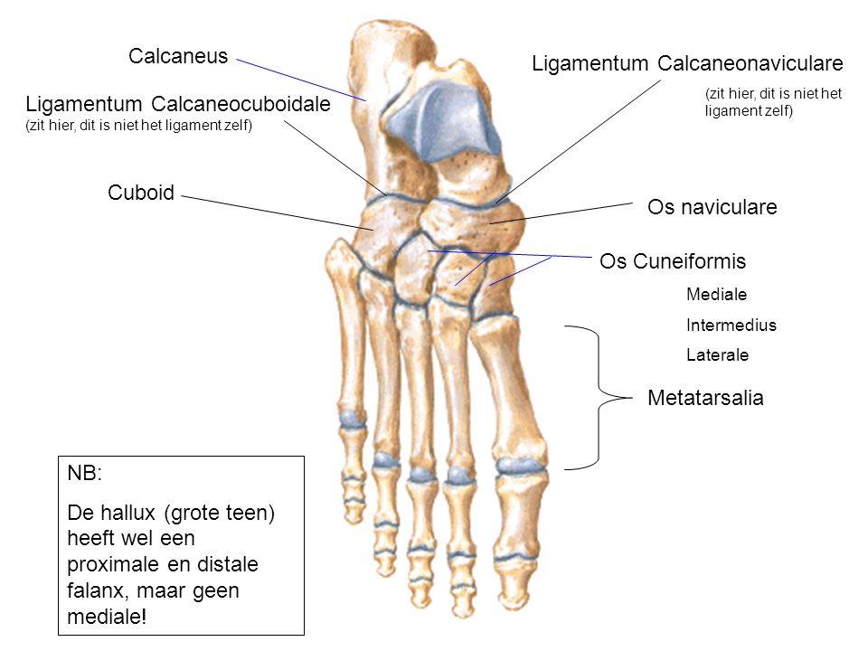 Cuboid Calcaneus Os naviculare Os Cuneiformis Mediale Intermedius Laterale Metatarsalia NB: De hallux (grote teen) heeft wel een proximale en distale