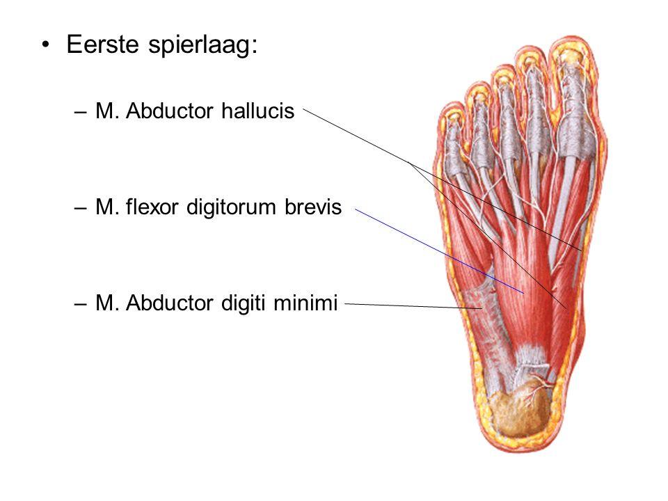 Eerste spierlaag: –M. Abductor hallucis –M. flexor digitorum brevis –M. Abductor digiti minimi