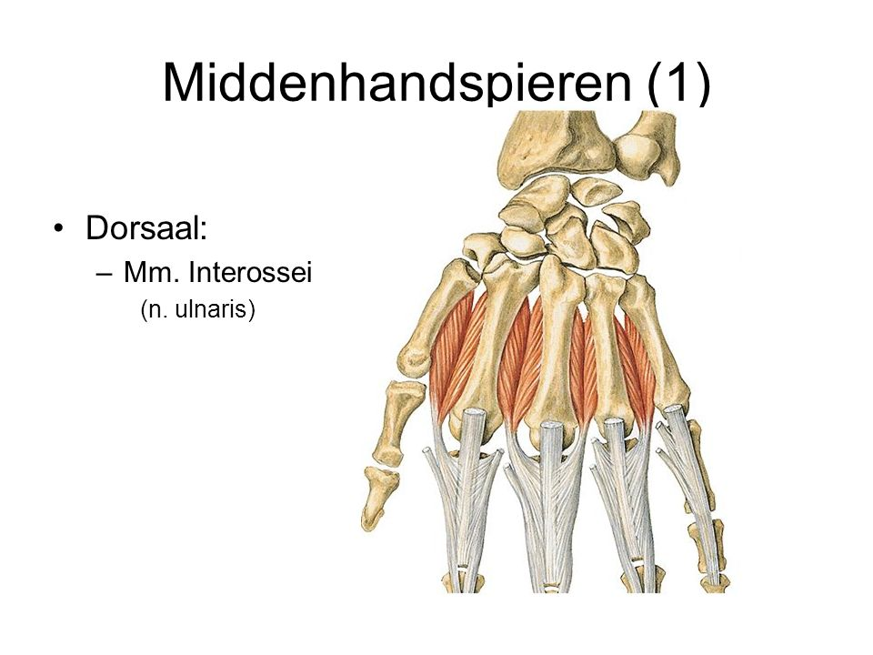 Middenhandspieren (2) Ventraal: –Mm Lumbricales (n.