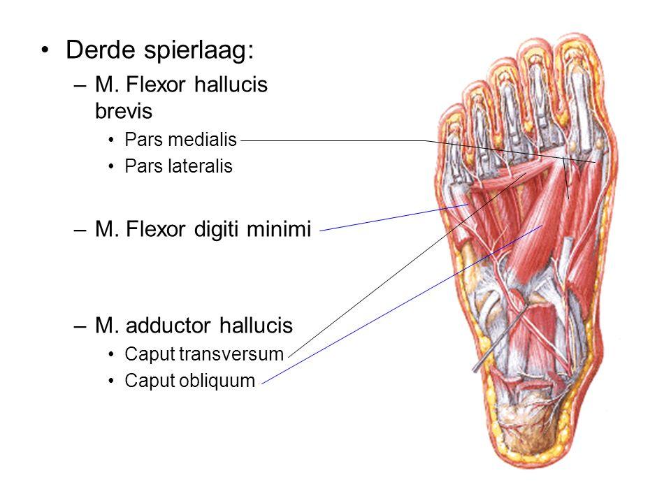 Derde spierlaag: –M. Flexor hallucis brevis Pars medialis Pars lateralis –M. Flexor digiti minimi –M. adductor hallucis Caput transversum Caput obliqu