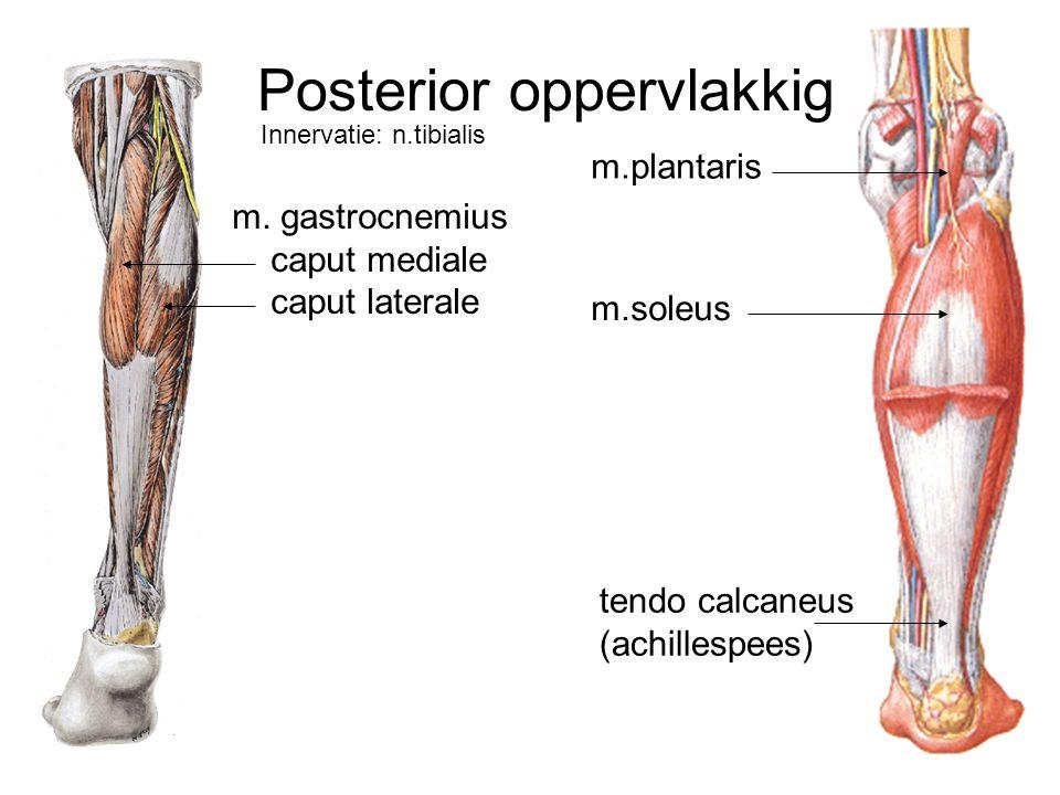 m. gastrocnemius caput mediale caput laterale m.soleus m.plantaris tendo calcaneus (achillespees) Posterior oppervlakkig Innervatie: n.tibialis