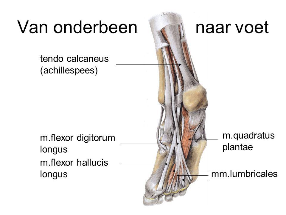 Van onderbeen naar voet m.flexor digitorum longus m.flexor hallucis longus tendo calcaneus (achillespees) m.quadratus plantae mm.lumbricales