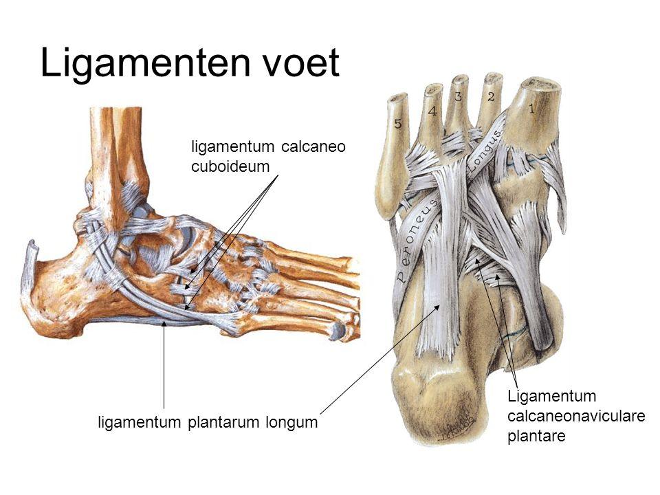 ligamentum calcaneo cuboideum ligamentum plantarum longum Ligamenten voet Ligamentum calcaneonaviculare plantare