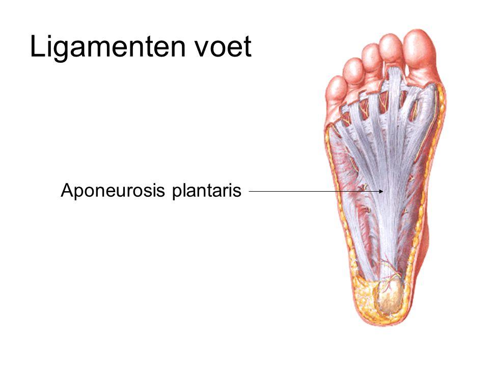 Aponeurosis plantaris Ligamenten voet