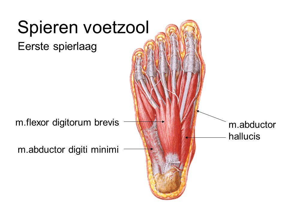 Eerste spierlaag Spieren voetzool m.abductor digiti minimi m.flexor digitorum brevis m.abductor hallucis