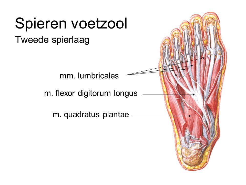 Tweede spierlaag Spieren voetzool m. flexor digitorum longus m. quadratus plantae mm. lumbricales