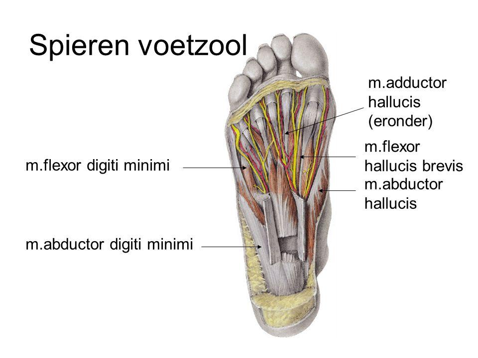 Spieren voetzool m.abductor digiti minimi m.flexor digiti minimi m.abductor hallucis m.flexor hallucis brevis m.adductor hallucis (eronder)