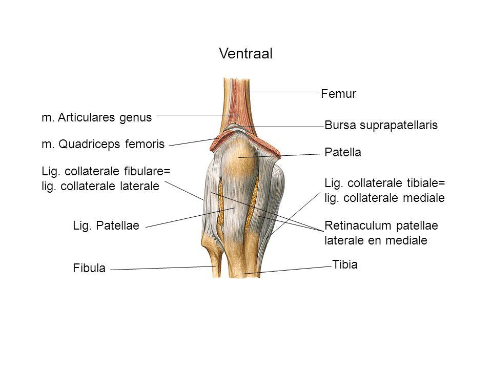 Ventraal Patella Tibia Femur Fibula Lig. Patellae Lig. collaterale tibiale= lig. collaterale mediale Lig. collaterale fibulare= lig. collaterale later