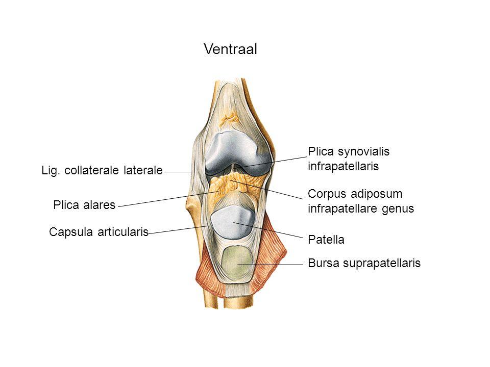 Ventraal Lig. collaterale laterale Patella Bursa suprapatellaris Capsula articularis Corpus adiposum infrapatellare genus Plica alares Plica synoviali
