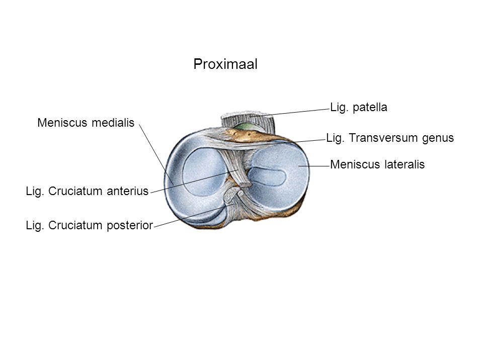 Proximaal Meniscus lateralis Meniscus medialis Lig. patella Lig. Transversum genus Lig. Cruciatum anterius Lig. Cruciatum posterior