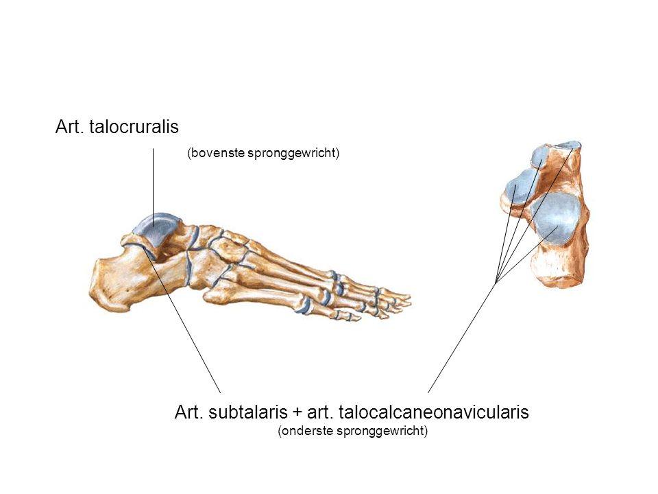 Art. subtalaris + art. talocalcaneonavicularis (onderste spronggewricht) Art. talocruralis (bovenste spronggewricht)