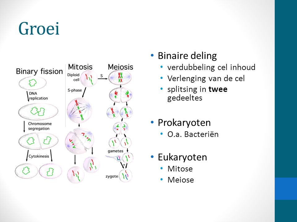 Groei Binaire deling verdubbeling cel inhoud Verlenging van de cel splitsing in twee gedeeltes Prokaryoten O.a. Bacteriën Eukaryoten Mitose Meiose