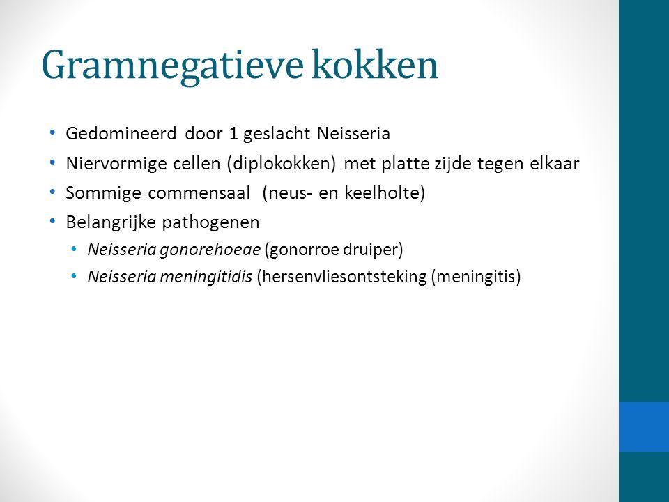 Gramnegatieve kokken Gedomineerd door 1 geslacht Neisseria Niervormige cellen (diplokokken) met platte zijde tegen elkaar Sommige commensaal (neus- en