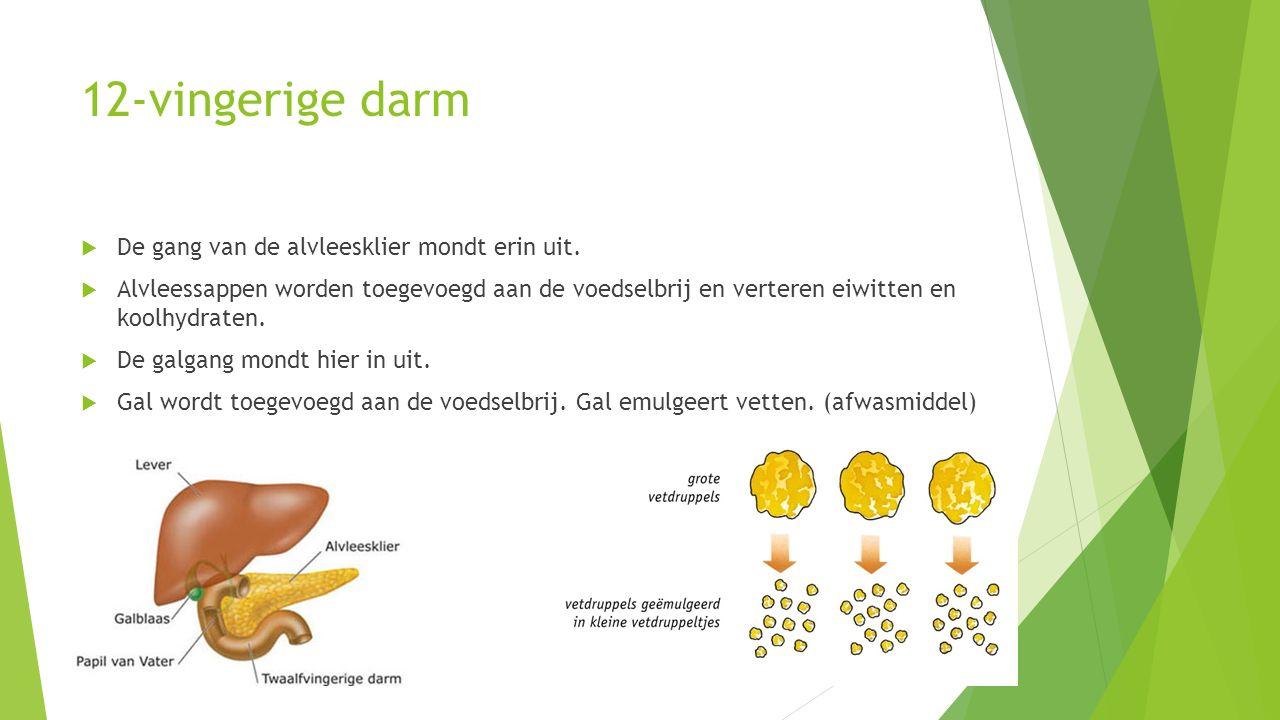 12-vingerige darm  De gang van de alvleesklier mondt erin uit.  Alvleessappen worden toegevoegd aan de voedselbrij en verteren eiwitten en koolhydra